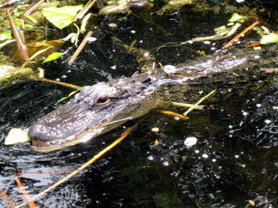 second gator