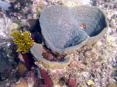funnel shaped coral