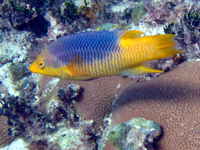 blue/yellow fishie