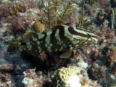 camouflage fishie