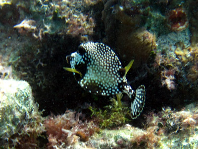little puffer fishie